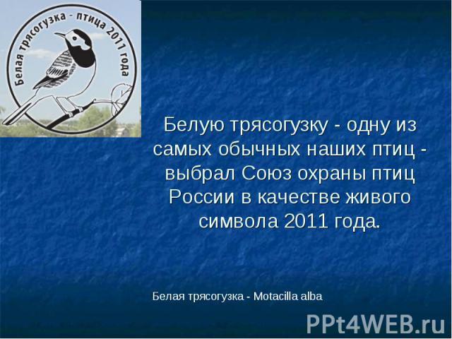 Белую трясогузку - одну из самых обычных наших птиц - выбрал Союз охраны птиц России в качестве живого символа 2011 года.Белая трясогузка - Motacilla alba