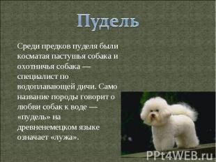 Пудель Среди предков пуделя были косматая пастушья собака и охотничья собака — с