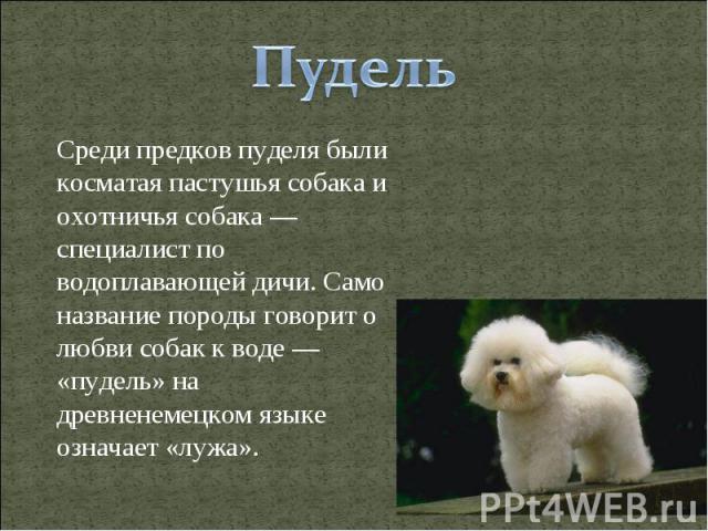 Пудель Среди предков пуделя были косматая пастушья собака и охотничья собака — специалист по водоплавающей дичи. Само название породы говорит о любви собак к воде — «пудель» на древненемецком языке означает «лужа».