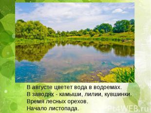 В августе цветет вода в водоемах. В заводях - камыши, лилии, кувшинки. Время лес