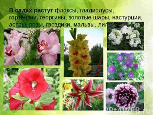 В садах растут флоксы, гладиолусы, гортензии, георгины, золотые шары, настурции,