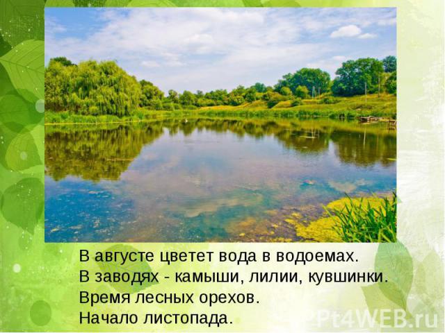 В августе цветет вода в водоемах. В заводях - камыши, лилии, кувшинки. Время лесных орехов. Начало листопада.