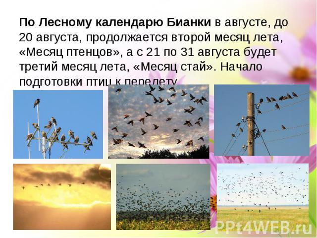 По Лесному календарю Бианки в августе, до 20 августа, продолжается второй месяц лета, «Месяц птенцов», а с 21 по 31 августа будет третий месяц лета, «Месяц стай». Начало подготовки птиц к перелету.