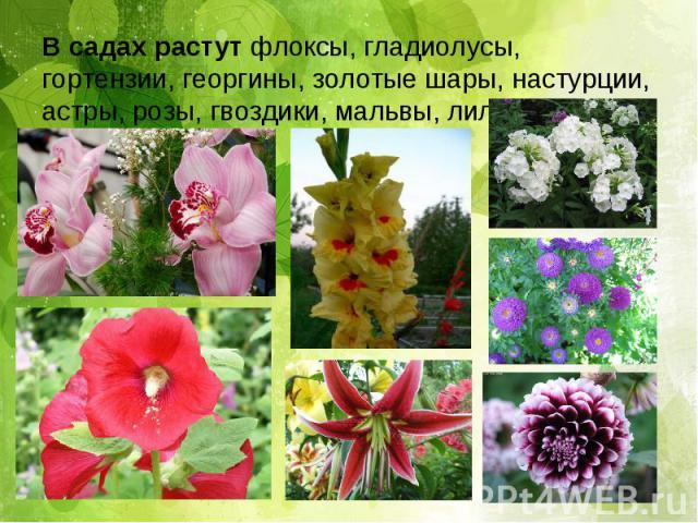 В садах растут флоксы, гладиолусы, гортензии, георгины, золотые шары, настурции, астры, розы, гвоздики, мальвы, лилии и т.д.