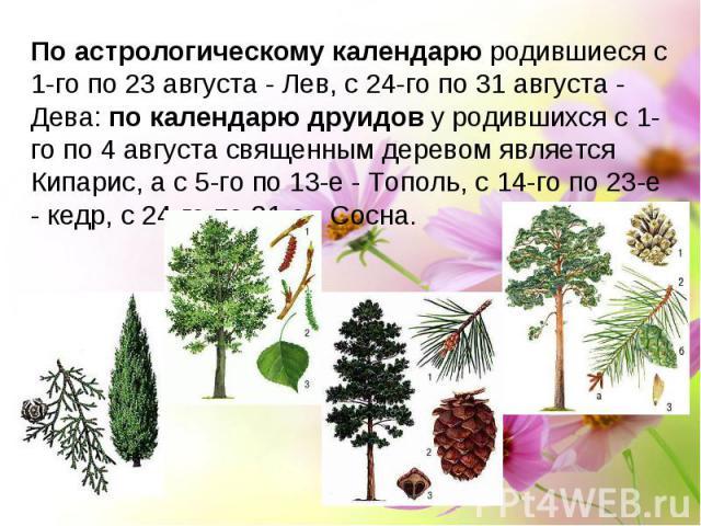 По астрологическому календарю родившиеся с 1-го по 23 августа - Лев, с 24-го по 31 августа - Дева: по календарю друидов у родившихся с 1-го по 4 августа священным деревом является Кипарис, а с 5-го по 13-е - Тополь, с 14-го по 23-е - кедр, с 24-го п…