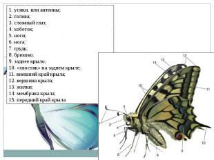1. усики, или антенны;2. голова;3. сложный глаз;4. хоботок;5. ноги;6. нога;7. гр