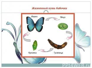 Жизненный путь бабочки