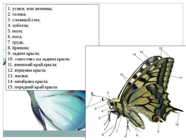 1. усики, или антенны;2. голова;3. сложный глаз;4. хоботок;5. ноги;6. нога;7. грудь;8. брюшко;9. заднее крыло;10. «хвостик» на заднем крыле;11. внешний край крыла;12. вершина крыла;13. жилки;14. мембрана крыла;15. передний край крыла.