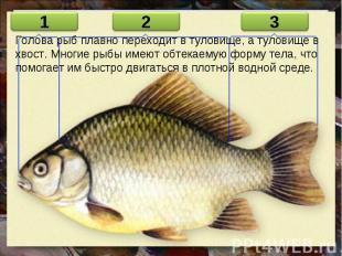 Голова рыб плавно переходит в туловище, а туловище в хвост. Многие рыбы имеют об