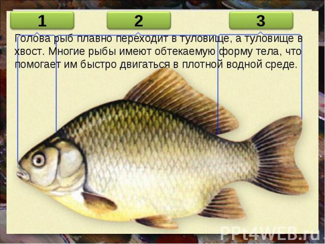 Голова рыб плавно переходит в туловище, а туловище в хвост. Многие рыбы имеют обтекаемую форму тела, что помогает им быстро двигаться в плотной водной среде.