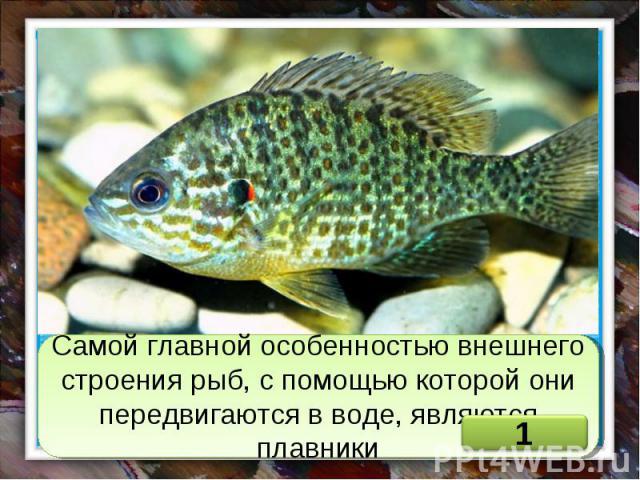 Самой главной особенностью внешнего строения рыб, с помощью которой они передвигаются в воде, являются плавники