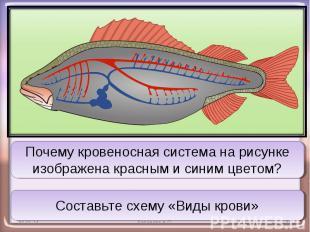 Почему кровеносная система на рисунке изображена красным и синим цветом?Составьт