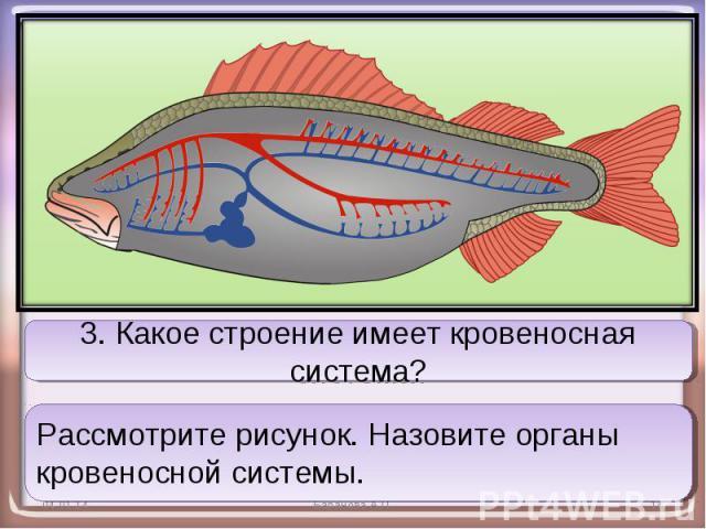 3. Какое строение имеет кровеносная система?Рассмотрите рисунок. Назовите органы кровеносной системы.