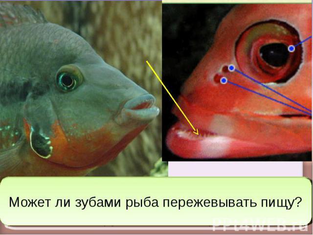 Может ли зубами рыба пережевывать пищу?