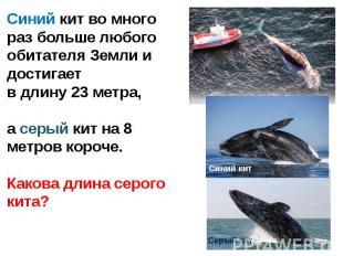 Синий кит во много раз больше любого обитателя Земли и достигает в длину 23 метр