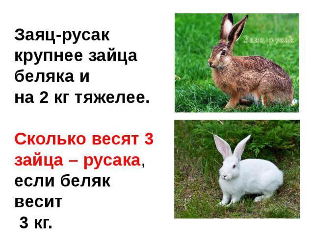 Заяц-русак крупнее зайца беляка и на 2 кг тяжелее.Сколько весят 3 зайца – русака,если беляк весит 3 кг.