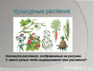 Культурные растенияНазовите растения, изображенные на рисунке. С какой целью люд