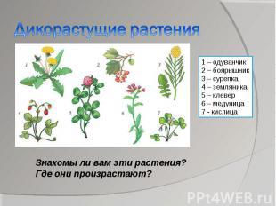 Дикорастущие растения1 – одуванчик2 – боярышник3 – сурепка4 – земляника5 – клеве