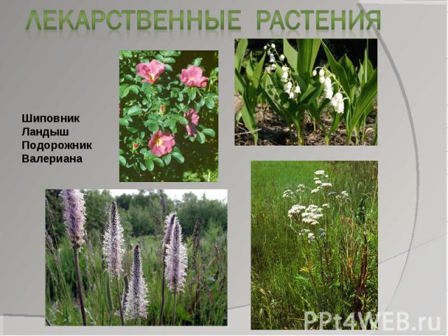 Лекарственные растенияШиповникЛандышПодорожникВалериана