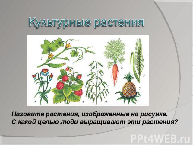 Культурные растенияНазовите растения, изображенные на рисунке. С какой целью люди выращивают эти растения?