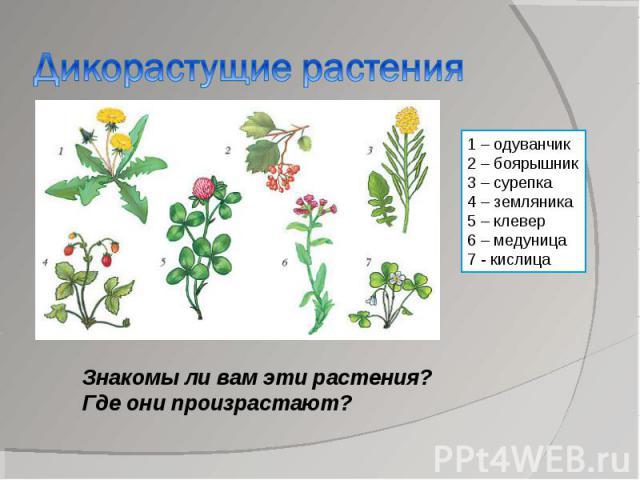 Дикорастущие растения1 – одуванчик2 – боярышник3 – сурепка4 – земляника5 – клевер6 – медуница7 - кислицаЗнакомы ли вам эти растения?Где они произрастают?