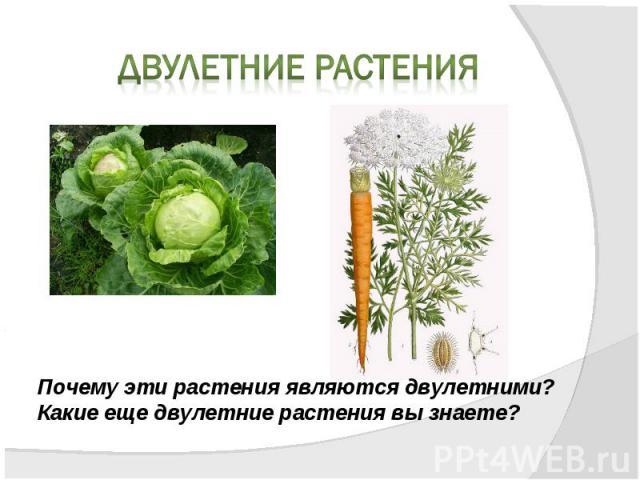 Двулетние растенияПочему эти растения являются двулетними?Какие еще двулетние растения вы знаете?