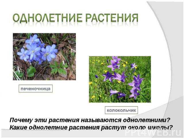Однолетние растенияПочему эти растения называются однолетними?Какие однолетние растения растут около школы?