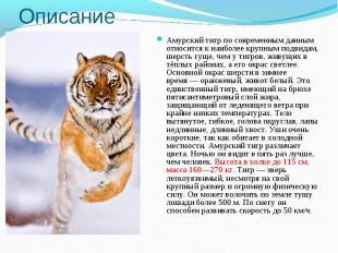 ОписаниеАмурский тигр по современным данным относится к наиболее крупным подвида