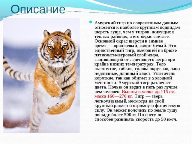 ОписаниеАмурский тигр по современным данным относится к наиболее крупным подвидам, шерсть гуще, чем у тигров, живущих в тёплых районах, а его окрас светлее. Основной окрас шерсти в зимнее время— оранжевый, живот белый. Это единственный тигр, имеющи…
