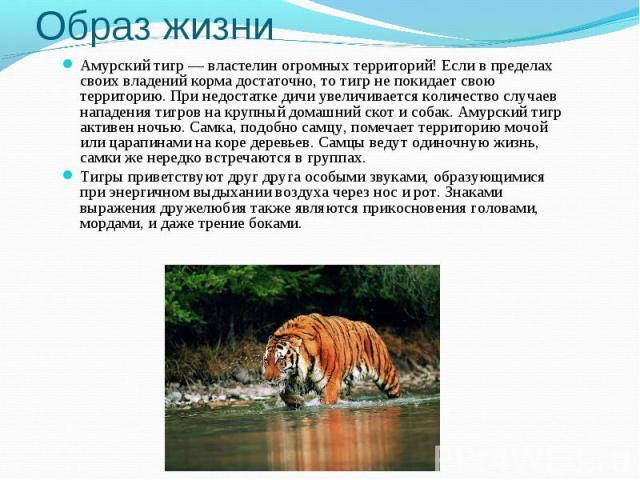 Образ жизниАмурский тигр— властелин огромных территорий! Если в пределах своих владений корма достаточно, то тигр не покидает свою территорию. При недостатке дичи увеличивается количество случаев нападения тигров на крупный домашний скот исобак. А…
