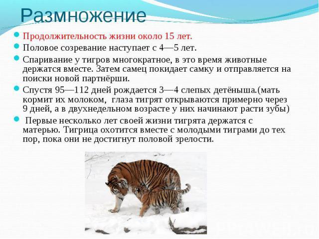 РазмножениеПродолжительность жизни около 15 лет.Половое созревание наступает с 4—5 лет.Спаривание у тигров многократное, в это время животные держатся вместе. Затем самец покидает самку и отправляется на поиски новой партнёрши.Спустя 95—112 дней рож…