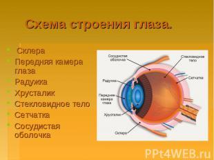 Схема строения глаза. Склера Передняя камера глаза Радужка Хрусталик Стекловидно