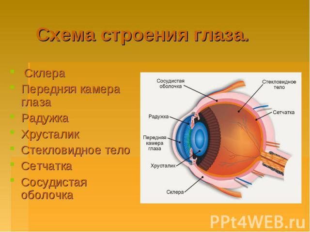 Схема строения глаза. Склера Передняя камера глаза Радужка Хрусталик Стекловидное тело Сетчатка Сосудистая оболочка