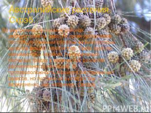 Австралийские растения. Скрэб.Во внутренних пустынных районах распространены зар