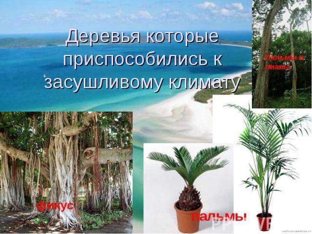 Деревья которые приспособились к засушливому климату