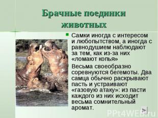 Брачные поединки животныхСамки иногда с интересом и любопытством, а иногда с рав