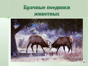 Брачные поединки животныхМы знаем о любовных поединках у парнокопытных животных