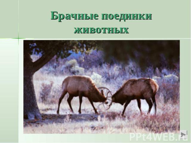 Брачные поединки животныхМы знаем о любовных поединках у парнокопытных животных – лоси и олени могут погибнуть, сцепившись рогами в брачном турнире.