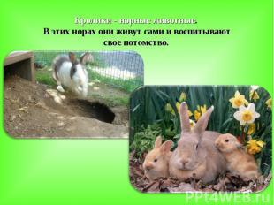 Кролики - норные животные. В этих норах они живут сами и воспитывают свое потомс