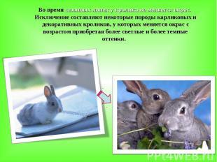 Во время сезонных линек у кролика не меняется окрас. Исключение составляют некот