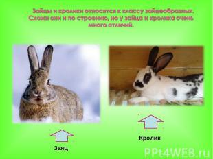 Зайцы и кролики относятся к классу зайцеобразных. Схожи они и по строению, но у