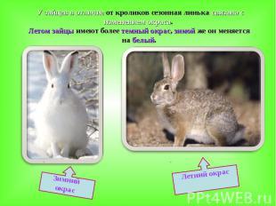 У зайцев в отличие от кроликов сезонная линька связана с изменением окраса. Лето