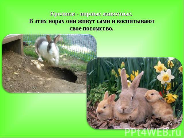 Кролики - норные животные. В этих норах они живут сами и воспитывают свое потомство.