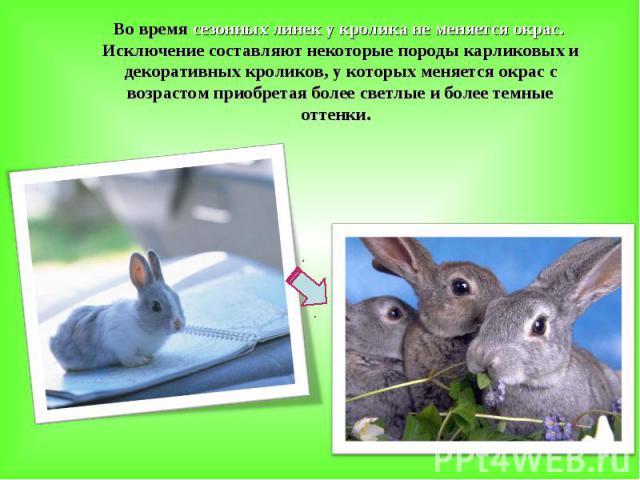 Во время сезонных линек у кролика не меняется окрас. Исключение составляют некоторые породы карликовых и декоративных кроликов, у которых меняется окрас с возрастом приобретая более светлые и более темные оттенки.