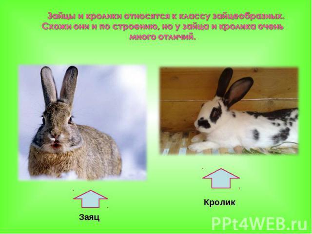 Зайцы и кролики относятся к классу зайцеобразных. Схожи они и по строению, но у зайца и кролика очень много отличий.