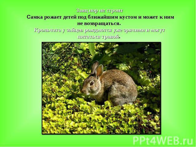 Заяц нор не строит Самка рожает детей под ближайшим кустом и может к ним не возвращаться. Крольчата у зайцев рождаются уже зрячими и могут питаться травой.