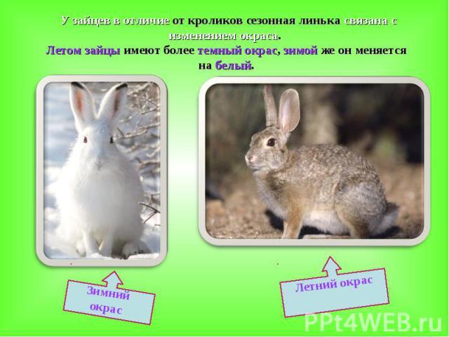 У зайцев в отличие от кроликов сезонная линька связана с изменением окраса. Летом зайцы имеют более темный окрас, зимой же он меняется на белый.