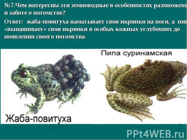 №7.Чем интересны эти земноводные в особенностях размножения и заботе о потомстве?Ответ: жаба-повитуха наматывает свои икринки на ноги, а пипа «вынашивает» свои икринки в особых кожных углубениях до появления своего потомства