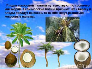 Плоды кокосовой пальмы путешествуют по тропичес- ким морям. Если морские волны п