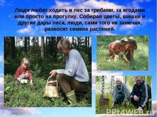 Люди любят ходить в лес за грибами, за ягодами или просто на прогулку. Собирая ц